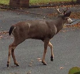 One of the goddamn deer in our 'hood.